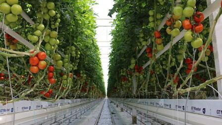 case study, grodan, greenhouse, tomato, glasshouse