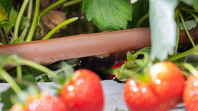 grower, strawberry, greenhouse, plants, slabs, grodan